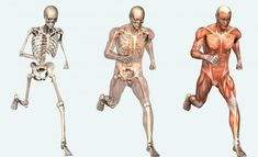 Poster – Muscle & Skeletal Layout of The Human Body (Picture Print Anatomy) The Human Body, Human Body Facts, Our Body, Human Skeleton Anatomy, Human Anatomy, Anatomy Male, Anatomy Models, Muscle Anatomy, Science Drawing