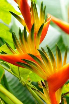 """Birds of Paradise ~ """"In the Sunlight"""" ~ by Jean-Luc Renouil ~ Mik's Pics """"Flowers ll"""" board Strange Flowers, Unusual Flowers, Rare Flowers, Amazing Flowers, Beautiful Flowers, Beautiful Beautiful, Beautiful Pictures, Exotic Plants, Tropical Plants"""