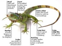 How to treat different kinds of Iguanas need patience in the right way / safe. when caring for Iguana many things to be aware that pets are not...