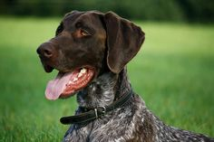 """german shorthair pointer will be the first dog i own """"when i grow up"""" aka """"when i get married AND want to be responsible"""""""