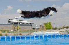 Border Collie dock dog