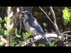 Rare scrub jay helps regrow oak forests | University of California
