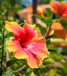 #Hibiscus flowers in #Mexico