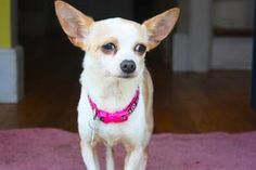 Yuli the Friendly Chihuahua in NH is an adoptable Chihuahua Dog in New Boston, NH. Yuli is a 3 year old Chihuahua mix. She is so loving and just wants to be with you. She's is an equal opportunity lap...