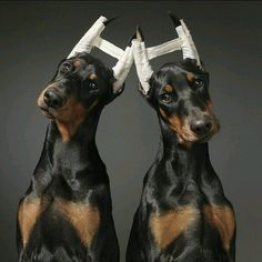 The Doberman Pinscher is among the most popular breed of dogs in the world. Known for its intelligence and loyalty, the Pinscher is both a police- favorite Perro Doberman Pinscher, Chien Dobermann, American Doberman, I Love Dogs, Cute Dogs, Doberman Love, Doberman Puppies, Doberman Breeders, Blue Doberman