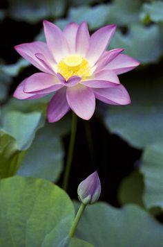 Purple Lotus flower & bud. Looks pretty. Please check out my website thanks. www.photopix.co.nz