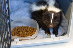 This baby Stripped Skunk will be rehabilitated by a Native Animal Rescue volunteer and then released back into the wild once she's matured.