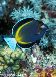 White-cheeked Surgeonfish(Acanthurus nigricans) also known as Gold-rimmed Surgeonfish or Whitecheek Tang