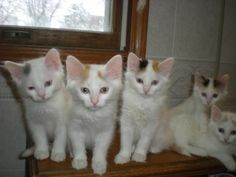 Tatcancats - Available kittens