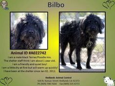 Bilbo - Friendly and Quiet is an adoptable Terrier Dog in Redlands, CA. This cute little scruffy guy is Bilbo. A wonderful dog looking for a loving home. Bilbo is a sweet and quiet dog. A022742