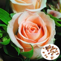 50pcs Champagne Rose Seeds DIY Home Garden Dec - US$1.43 sold out - Banggood Mobile