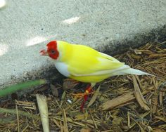 Gouldian finch, male, red headed, white chested, yellow backed