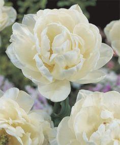 Tulip Mt Tacoma- get in my garden!  Van Engelen Flower Bulbs