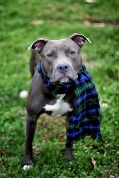 Aww I love seeing all of these little pitties in scarfs, sweaters, flannels, santa hats and antlers. So cute (: