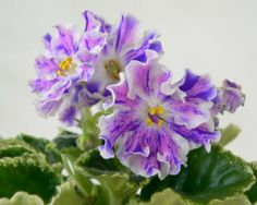 Improving Upon Office Environment Air Excellent With Indoor Crops - Superior For Business Large Flowers For An African Violet Flora Flowers, Large Flowers, Purple Flowers, Beautiful Flowers, Bonsai Soil, Umbrella Tree, Indoor Bonsai Tree, Violet Plant, Saintpaulia