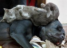 12 Photos Of Cats Treating Dogs Like Pillows
