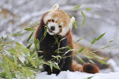 Snow Red Panda by Josef Gelernter on 500px