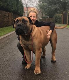 Crazy Wolf of Blygedacht – the happiest Boerboel! – Janet Carr @ - The South African Boerboel - Chien Giant Dog Breeds, Giant Dogs, Large Dog Breeds, Worlds Largest Dog, Continental Bulldog, Bull Mastiff Puppies, English Mastiff Puppies, Huge Dogs, Bully Dog