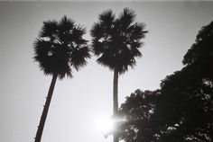 Sugar palm, Lampang, Thailand. Taken by ChickKa Chick with an Olympus XA loaded with LUCKY SHD 100 film.