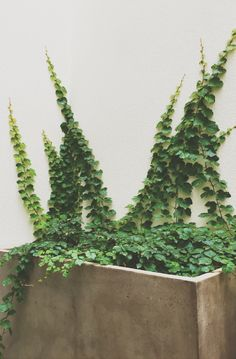 Boston Ivy climbing from pot. Boston Ivy climbing from pot. Balcony Plants, Ivy Plants, Cool Plants, Garden Plants, Ivy Plant Indoor, Cornwall Garden, Boston Ivy, Ivy Wall, Plant Tattoo