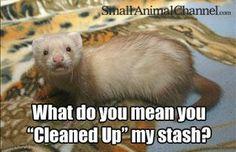 Funny! Gotta love a ferret! 2013                                                                                                                                                      More