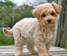 Apricot Toy Maltipoo | Childrens Toy OH, and this one as I am reading more