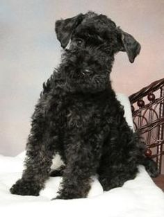 lady liberty blue bell, always came to Bell (Kerry Blue Terrier)