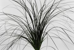 6.50 SALE PRICE! Preserved Jet Black Bear Grass A wonderful grass for floral designers. It is very pliable so you can use it to wrap around vases and basket....