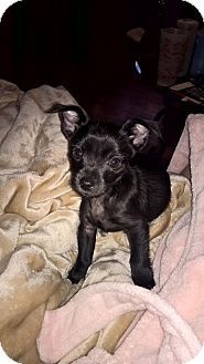 HAGGERSTOWN, MD - Chihuahua/Yorkie, Yorkshire Terrier Mix. Meet WILLIAM, SHADOW AND MARION, a puppy for adoption. http://www.adoptapet.com/pet/14741226-haggerstown-maryland-chihuahua-mix