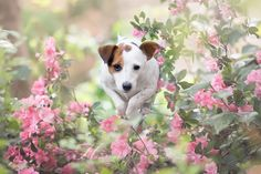 Who's ready to jump into the weekend? by Heavenly Pet Photography #cutest #jackrussell #terrier #dog #jumpingjack