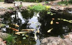 koi pond 15 Garden Pond, Lawn And Garden, Garden Bridge, Healthy Environment, Life Form, Fire Pit Backyard, Things To Know, Water Features, Koi