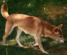 The New Guinea singing dog (also known as the New Guinea dingo, Hallstrom dog, bush dingo, New Guinea wild dog, and singer): Canis lupus dingo