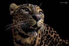 Leopard in front of me Fran Vargas Photography
