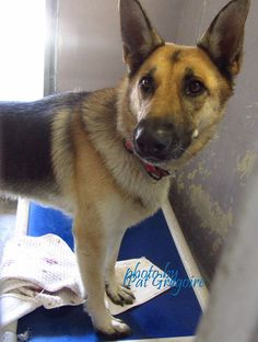 ADOPTED❤️❤️A4869239 My name is Penny. I am a friendly 3 yr old female brown/black German Shepherd. My family left me here on August 21. available 8/25/15 Baldwin Park shelter https://www.facebook.com/photo.php?fbid=1018249874853516&set=a.705235432821630&type=3&theater