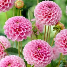 Image result for Stolze Von Berlin dahlia