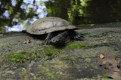 Foto em Jardim Botânico do Recife Turtle, Animals, Recife, Walkway, Pictures, Animales, Tortoise, Animaux, Tortoise Turtle