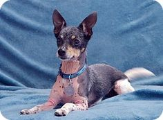 Knoxville, TN - Chihuahua Mix. Meet Callie a Dog for Adoption.