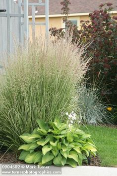 Calamagrostis x acutiflora 'Overdam' - Variegated Reed Grass