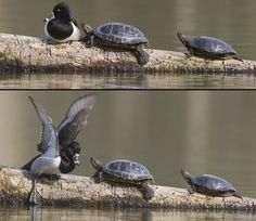 This ring-necked duck was sitting on a log when it was rudely disturbed by two territorial red-eared slider turtles. Trying to ignore the hard-shelled bullies, he soon found one of them nudging him with its nose. The duck then got in a flap as the turtles backed off and plopped into the water.Picture: trogontours.net/Rex Features