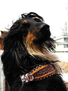 Rasmus, the Afghan Hound