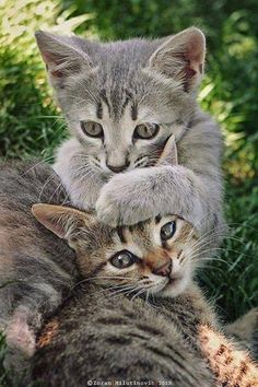 """Whisperer by Zoran Milutinovic. """" Brother and sister, European Shorthair tabby kittens, enjoying sunny day. Animals And Pets, Baby Animals, Funny Animals, Cute Animals, Animals Images, Animal Memes, Cute Cats And Kittens, Cool Cats, Kittens Cutest"""