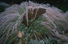 Dew on Muhlenbergia capillaris in the San Marcos Growers Garden