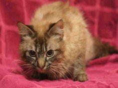 Petfinder  Adoptable | Cat | Ragdoll | Decatur, IL | STERLING