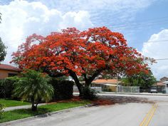 Royal Poinciana tree- These were all over Miami, FL   I wonder if they will grow here in Texas?