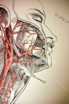 vintage medical illustration - Google Search
