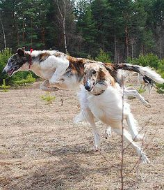 Borzois are playing and jumping. #dogs #borzoi #Russian