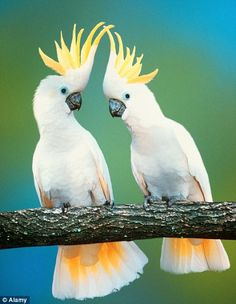Bird talk: Two cockatoos living in the wild in Australian'Northern Territory - escaped former pets are joining wild flocks and teaching them to talk