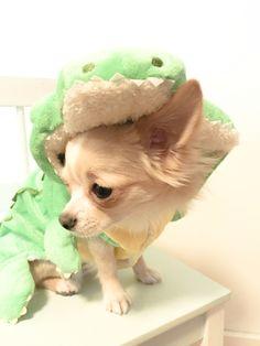 "• ""Raawr"" said the crocodile #chihuahua #longhaired #dog #dogcostume"