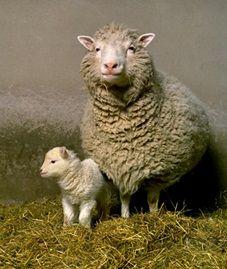Dolly junto a su primera cría, llamada Bonnie. #Edinburgh #Edimburgo #Escocia #Scotland #animales #animals Más información / More info: http://edinatours.com/edinablog/la-oveja-dolly-el-primer-animal-clonado-de-la-historia/
