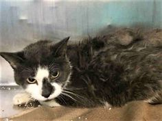 VISION - A1123646 - - Manhattan  ***TO BE DESTROYED 09/02/17***TERRIFIC TUX NEEDS YOU TONIGHT!!! VISION was brought in with another cat, FOREST. She is about 6 yrs old, underweight, and has a mammary mass… WHEN YOU FOSTER, ALL REASONABLE MEDICAL EXPENSES ARE COVERED BY A RESCUE. MACC recommends both VISION & FOREST stay together as they seem to be bonded. -  Click for info & Current Status: http://nyccats.urgentpodr.org/vision-a1123646/